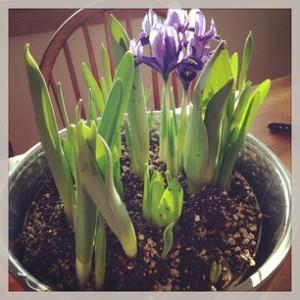 Purple iris to brighten your day!